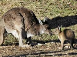 Kangaroo Boxing Match On An Australian Street