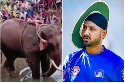 Pregnant Wild Elephant Dies After Cracker Filled Pineapple Harbhajan Singh Became Angry